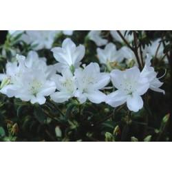 AZALEA (j) Ledifolia alba