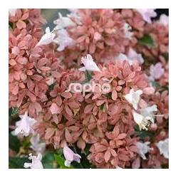 ABELIA grandiflora Raspberry profusion