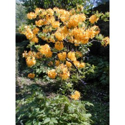 AZALEA (kh) Golden eagle