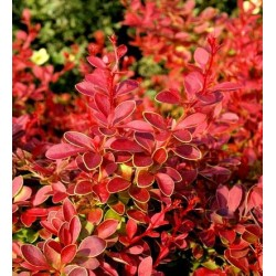 BERBERIS thunb. Coral maja