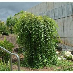 BETULA nigra Summer cascade