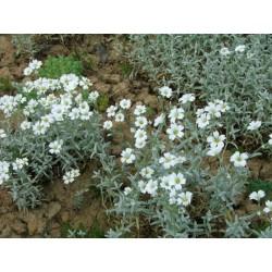 CERASTIUM tomentosum Silver white