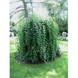 CERCIDIPHYLLUM japonicum Pendula