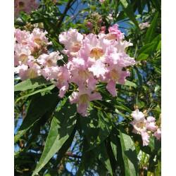 CHITALPA tashkentensis Pink dawn