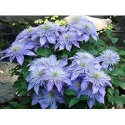 CLEMATIS Crystal fontaine