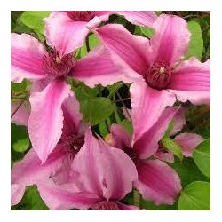 CLEMATIS Saphyra double rose(r)