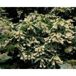 CLETHRA barbinervis Great star(r)