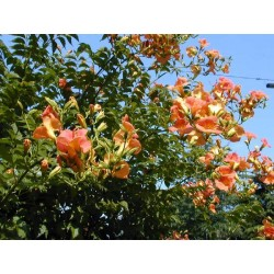 CAMPSIS rad. Orange summer