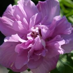 HIBISCUS syr. French cabaret purple(r)