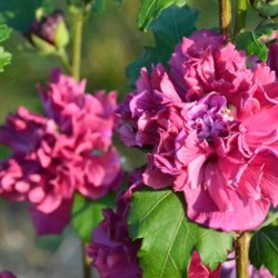 HIBISCUS syr. French cabaret red(r)