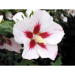 HIBISCUS syr. Pinky spot(r)