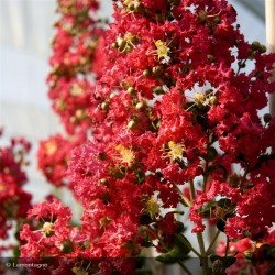 LAGERSTROEMIA ind. Coccinea