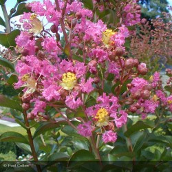 LAGERSTROEMIA ind. Lilac grand sud