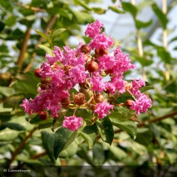 LAGERSTROEMIA ind. Magnifica