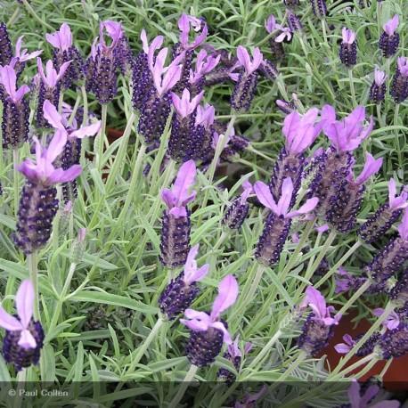 LAVANDULA stoechas Lavela violetto(r)
