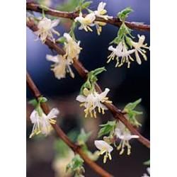LONICERA purpusii Winter beauty
