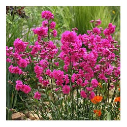 LYCHNIS viscaria Plena