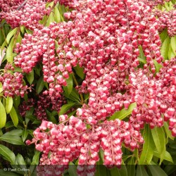 PIERIS jap. Passion