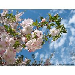 PRUNUS subh. Autumnalis rosea