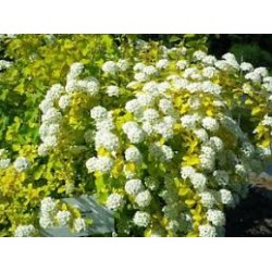 SPIRAEA vanhouttei Gold fountain