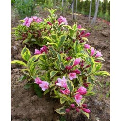 WEIGELA florida Magical rainbow(r)