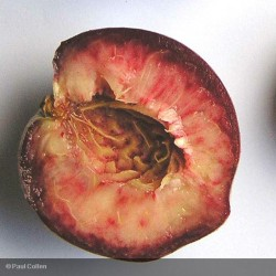 PRUNUS persica Peche sanguine