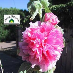 ALCEA rosea Chaters double rose