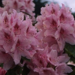 RHODODENDRON (t) Red jack