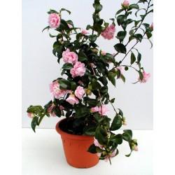 CAMELLIA japonica Mathotiana