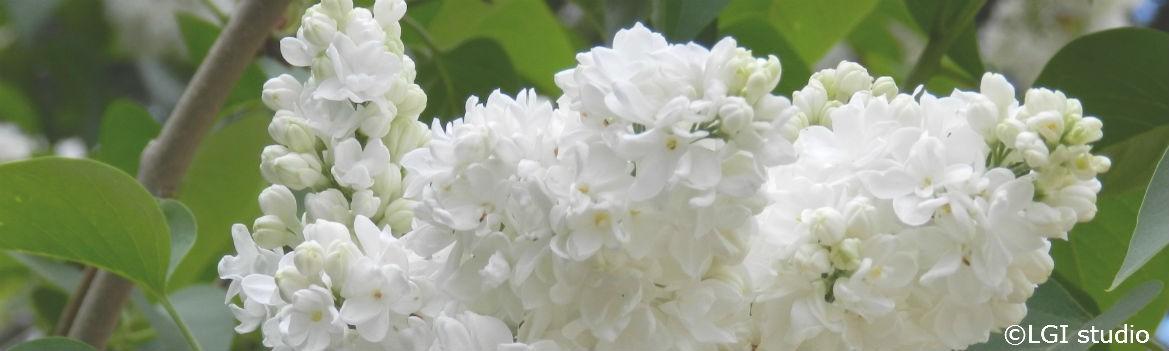 arbustes-floraison-printaniere